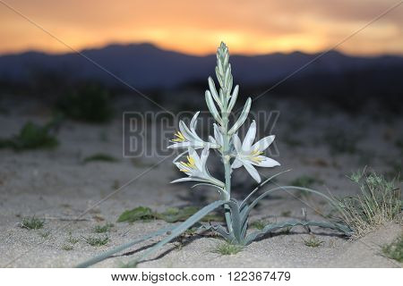 A Desert Lily at sunset in Anza-Borrego Desert State Park