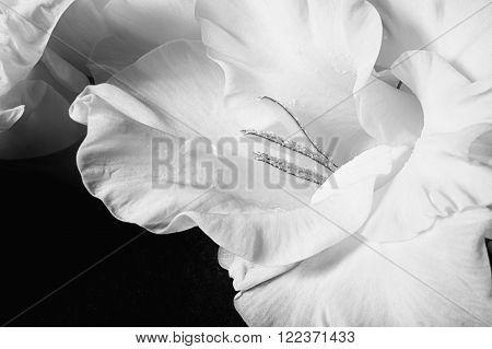 Gladiolus Flowers Closeup