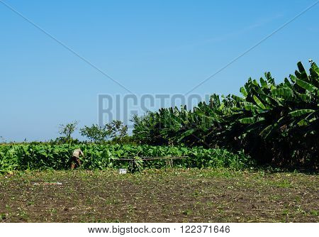 Tropical agricultural land and tobacco plantation with palms by the side of the fields and blue sky