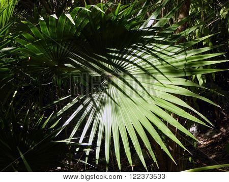 Series of Chit palm tree leafs cast a shadow in the coastal jungle of the Yucatán peninsula of Mexico.