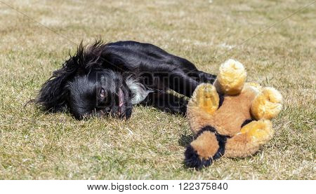The picture shows a young pekinese dog