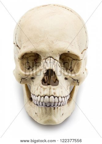 Skull model isolated on a white background.