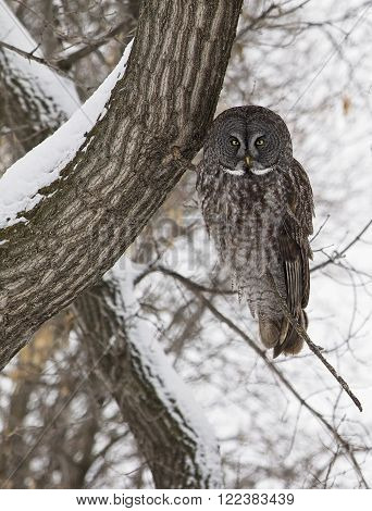 Great Grey Owl, perched on an oak tree branch, perfectly camouflaged.  Provincial bird of Manitoba, Canada.