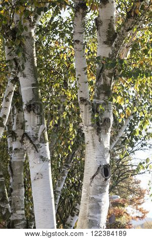 Birch tree (Betula) in autumn, Lower Saxony, Germany