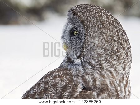 Close up, profile image of a Great Grey Owl looking over its shoulder.  Provincial bird of Manitoba, Canada.