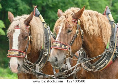 The heads of two brown horses in harnesses with blonde manes side by side