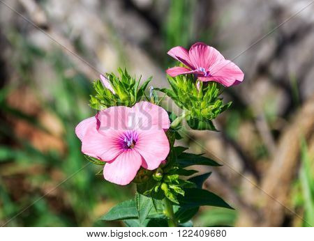 phlox flowers waking up early in the morning in the park Goren ** Note: Soft Focus at 100%, best at smaller sizes