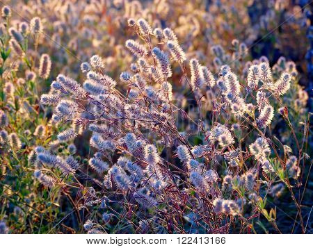 Rabbit-foot clover flowers (Trifolium arvense) in sunset rays, background