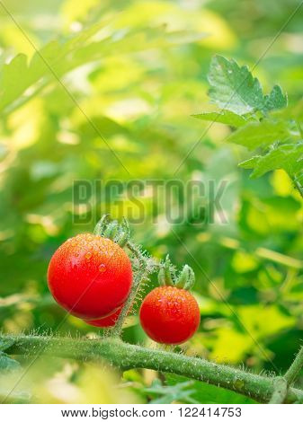 Fresh cherry tomato and water dew on bunch