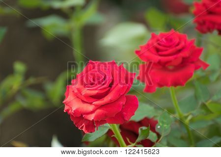Beautiful red rose flower Naturally beautiful flowers in the garden