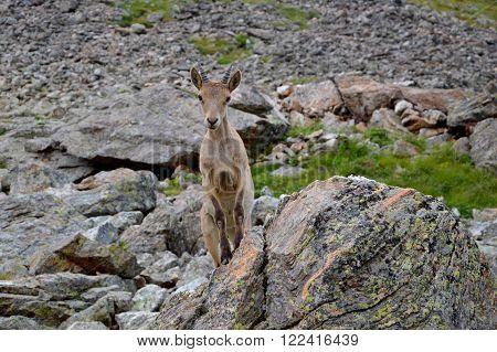 Mountain Goats, High