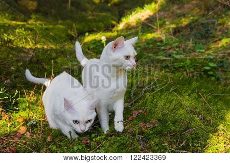 Two burmilla cats in the forrest contrasty scene