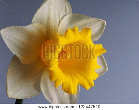 closeup shot of a yellow and white daffodil with a pale blue background