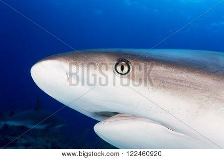 Caribbean Reef Shark Close Encounter In Bahamas