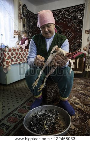 Krasnodar, Russia - 18 March 2013: Woman 60 years old, removes feathers and down with the chicken in the Russian hut. In the background, a girl of 7 years. Peasant life of the Kuban region.