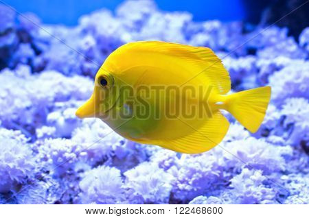 Zebrasoma yellow in an aquarium on a background of green algae and blue water