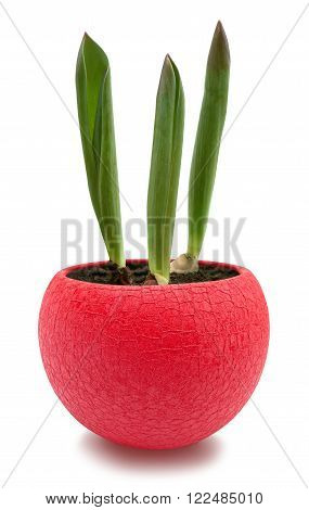 Three young tulip sprouts in red round pot isolated over white with clipping path