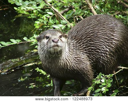 Oriental small-clawed otter in the nature - at pond ** Note: Visible grain at 100%, best at smaller sizes