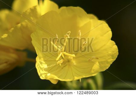 a pretty yellow evening primerose - close up ** Note: Shallow depth of field