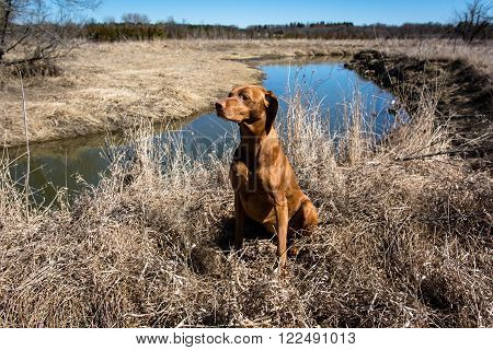 A female Vizsla dog sits on the edge of a creek in a field in spring.