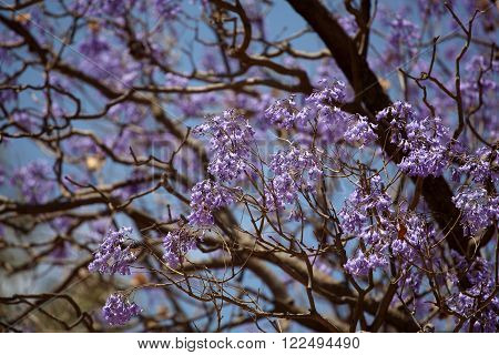 Blue flowers of a Jacaranda Tree (Jacaranda mimosifolia)