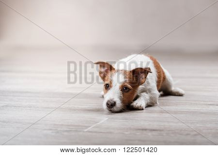 Dog Breed Jack Russell Terrier Portrait Dog On A Studio Color Background