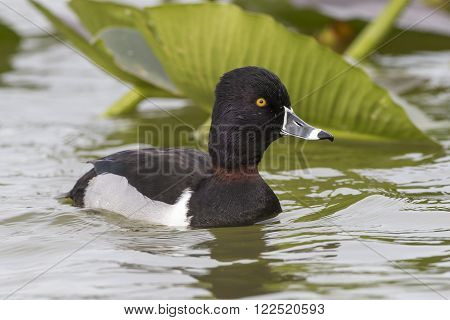 Male Ring-necked Duck (Aythya collaris) Swimming on a Lake - Florida