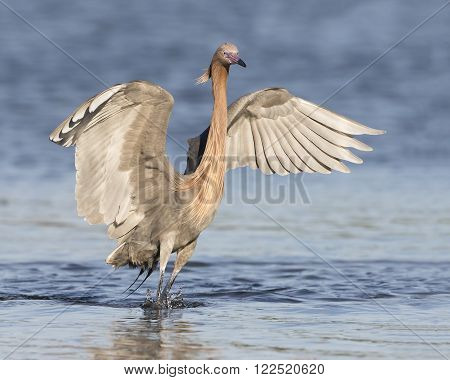 Reddish Egret (Egretta rufescens) Stalking a Fish with its Wings Outspread in a Salt Water Lagoon - Fort de Soto Florida
