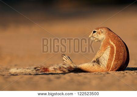 Ground squirrel (Xerus inaurus), Kalahari desert, South Africa