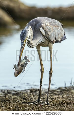 Specie Ardea cinerea family of ardeidae, grey heron fishing in South Africa
