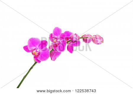 Banch of orchid flower