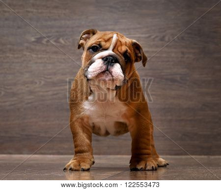 Purebred English bulldog puppy. Puppy 3 months. Dog standing on the wooden floor. Portrait of an elite puppy