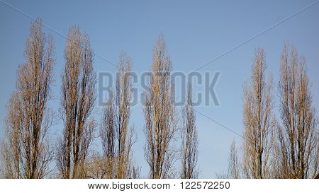Sunlit row of columnar poplar trees against blue sky in winter