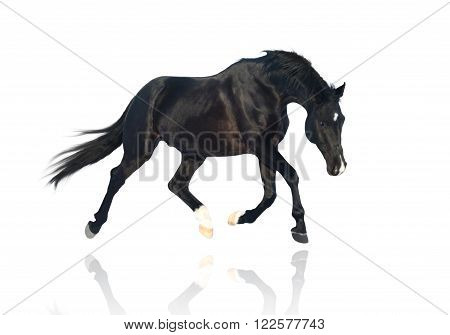 isolate of the black horse trotting on the white background