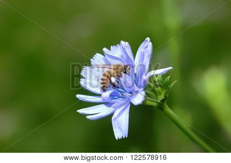 Worthy honey bee which collects pollen from the flower