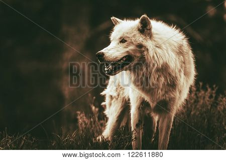White Alpha Wolf. Dark Sepia Color Grading. Adult Wolf.