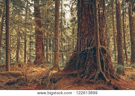 Mystery Forest Symbiosis. American Northwest Rainforest Two Trees Symbiosis.