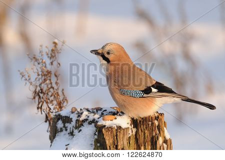 Eurasian jay (Garrulus glandarius) at the feeder stump at sunny winter day. Moscow region Russia