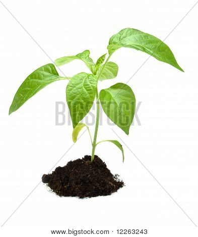Plant In Dark Soil Isolated