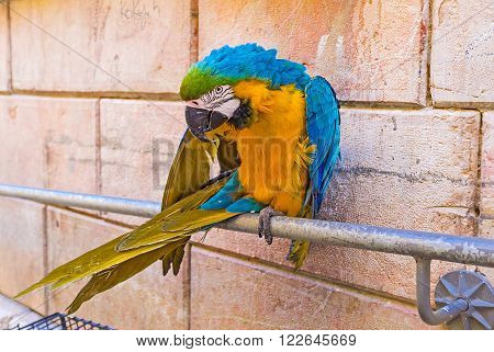 The beautiful Macaw parrot, sitting on the handrails, cleans feathers and attracts the tourists to visit the souvenir shop on Via Dolorosa, Jerusalem, Israel.