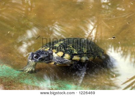 green sea turtle going out from water poster