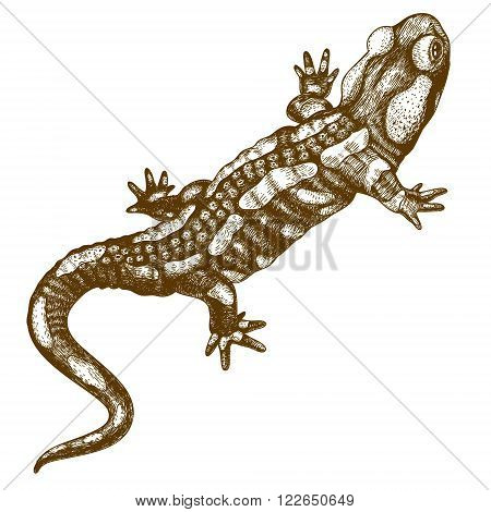 Vector engraving illustration of highly detailed hand drawn salamander isolated on white background