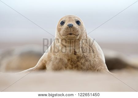 Atlantic Grey Seal Pup (Halichoerus Grypus) on sandy beach