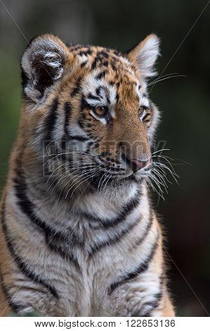 Siberian Tiger Cub (Panthera Tigris Altaica) against a dark background