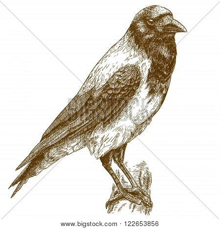 Vector engraving illustration of highly detailed hand drawn crow isolated on white background