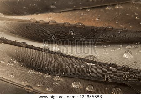 Water drops on a gray feathers close up
