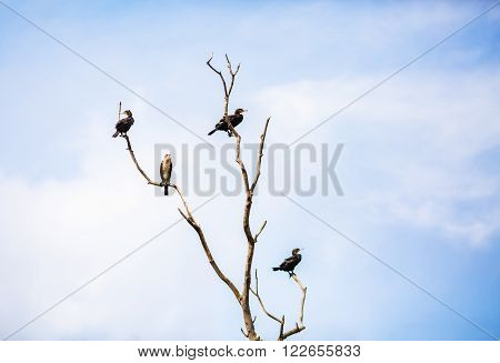 Great black cormorants sitting on a dry tree against the blue sky. Phalacrocorax carbo. Water birds on the tree.