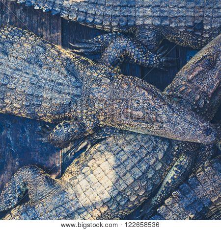 many crocodiles large crocodiles cambodia many crocodiles large crocodiles cambodia