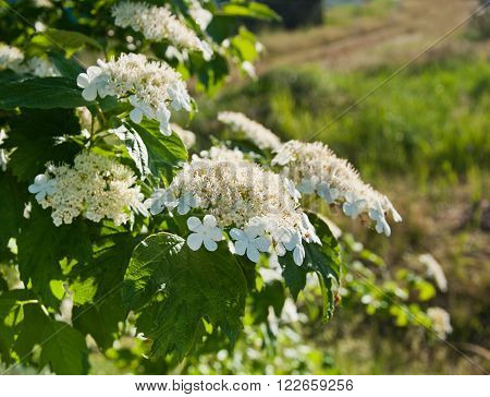 The beautiful White Viburnum flowers in garden