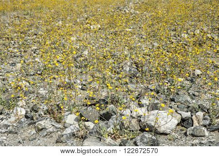 Thousands of yellow desert flowers bloomed in the arid environment of Death Valley during the 2016 Super-bloom.